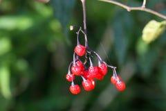 Berries of a bittersweet nightshade Royalty Free Stock Image