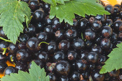 Berries of a black currant Stock Images