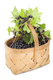 Berries of a black currant in a basket. Stock Image