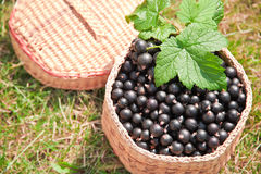 Berries black currant in the basket. On the grass stock images