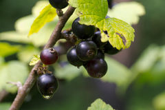 Berries of a black currant on branch Royalty Free Stock Images