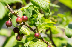 Berries of black currant in a sunny day Royalty Free Stock Image