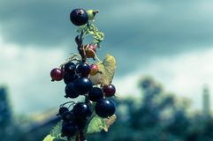Berries of black currant. In the sunny farm Stock Photography