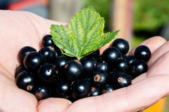 Berries are black, freshly picked currant and a sheet of currant lejat on a boat Royalty Free Stock Photography
