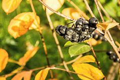 Berries of a black mountain ash Stock Photo
