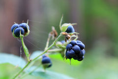 Berries of blackberry Royalty Free Stock Images