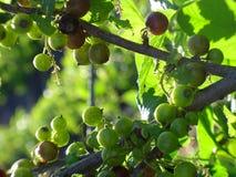 Berries of the  blackberry Stock Photo