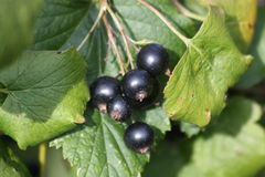 Berries blackcurrant. Close-up berries of black currant bushes are on the foliage Stock Photography