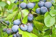 Berries of blackthorn Stock Image