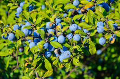 Berries of blackthorn Royalty Free Stock Photo