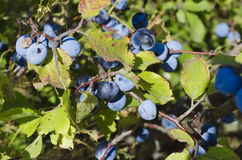 The berries of blue berry. The berries of blueberry on bush Royalty Free Stock Photo