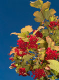 Berries and blue sky. Rose hip berries and blue sky vertical Royalty Free Stock Photography