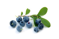 Berries of a bog bilberry with leaves Stock Photography