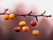 Berries on a Branch. A close up shot of berries on a branch Royalty Free Stock Image