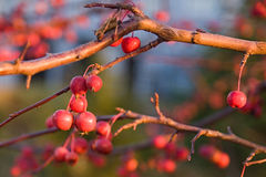 Berries on a branch. Berries on a branch in the rays of a calling sun Royalty Free Stock Images