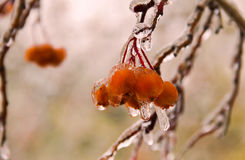 Berries on a branch after ice rain Stock Photo