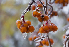 Berries on a branch after ice rain in October.Closeup Royalty Free Stock Photo