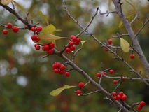 Berries On A Branch. Rain has a way of bringing down leaves in the fall. Earlier the berries had leaves surrounding them. This shot shows that there are only a Stock Image