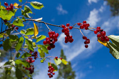 Berries on branch Royalty Free Stock Photo