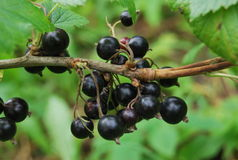 Berries on branches royalty free stock photos