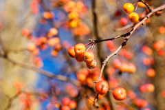 Berries and branches Royalty Free Stock Photo
