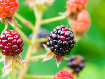Berries on the branches of a blackberry Stock Photos
