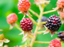 Berries on the branches of a blackberry. Royalty Free Stock Photo
