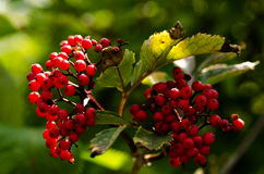 Berries on branches Stock Photo