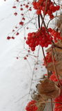 Berries on branches. Red berries in clusters on bare branches Stock Photos