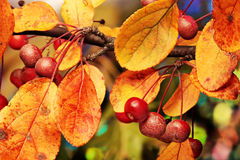 Berries-a-bunch. Red berries with Fall leaves Stock Images