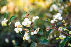 Berries on a bush Stock Photos