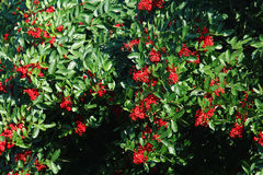 Berries on a bush. Red berries on a bush in winter in Florida Royalty Free Stock Photography