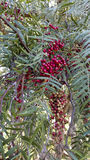 Berries of California Pepper Tree Stock Images
