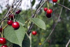 Berries of charry. Many ripe cherries on branches with space for text Royalty Free Stock Images