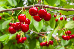 Berries cherries on a branch in the rain Royalty Free Stock Photography