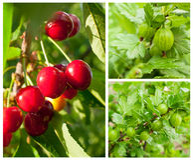 Berries cherries and gooseberries on the bush Stock Photos