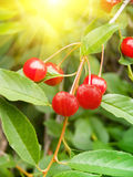 Berries  cherry  tree Royalty Free Stock Photos