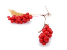 The berries of Chinese magnolia-vine Royalty Free Stock Photo