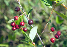 Berries chokeberry ripens in early autumn in nature Stock Photos