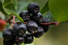 Berries of a chokeberry tree. Royalty Free Stock Photography