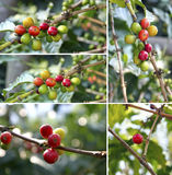Berries on coffee tree. Collage of colorful berries on branches of coffee tree Stock Photos
