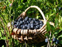 Berries collect in the summer Royalty Free Stock Image