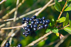 Berries of the common privet Ligustrum vulgare on autumn Royalty Free Stock Photos