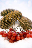 Berries and cones. A branch of red berries in the snow Stock Photography