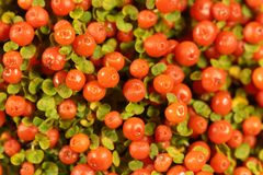 Coral bead plant Nertera granadensis Stock Images