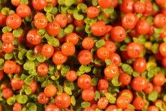 Coral bead plant Nertera granadensis. Berries of a coral bead plant Nertera granadensis Stock Images