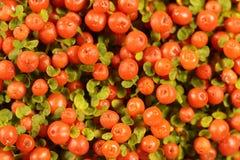 Coral bead plant Nertera granadensis. Berries of a coral bead plant Nertera granadensis Royalty Free Stock Photo
