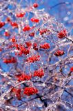 Berries covered in ice royalty free stock images