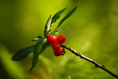 The berries of the Daphne Royalty Free Stock Images