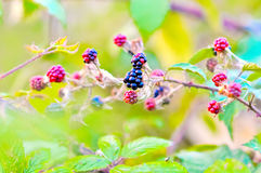 Berries. Delicious and fresh berries in the wildness Stock Image